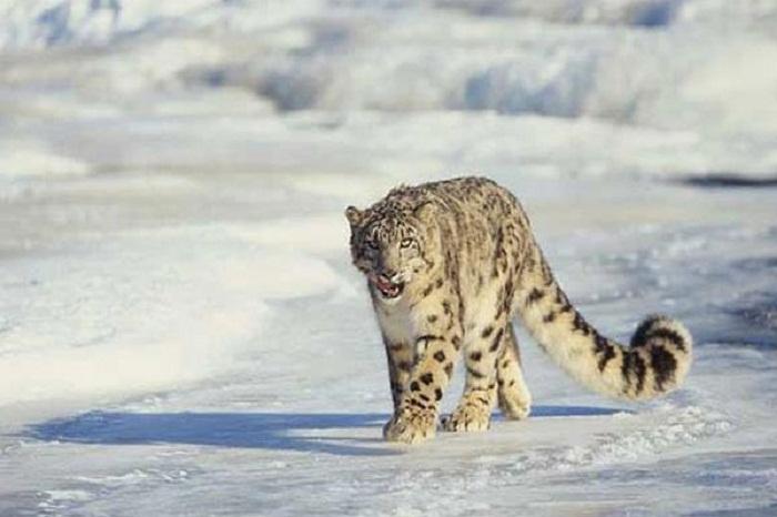 snow-leopard-ladakh